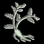 HUANG QI – Astragaluswurzel (radix astragali)