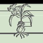 BAI HE – Lilienzwiebel (bulbus lilii)