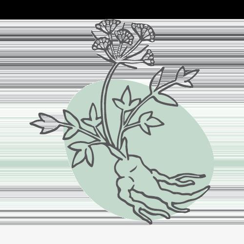 DANG GUI – Chinesische Engelwurzwurzel (radix angelicae sinensis)