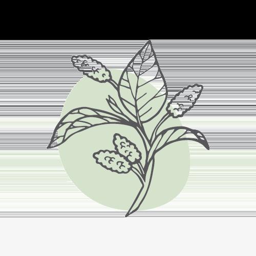 SANG SHEN – Maulbeerfrucht (fructus mori)