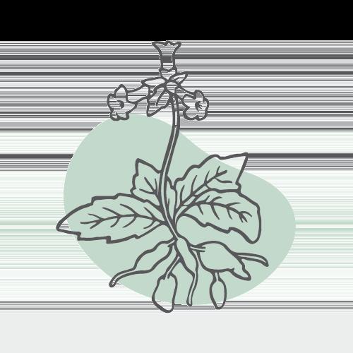 SHENG DI – Rehmannia-Wurzelknolle (radix rehmanniae)