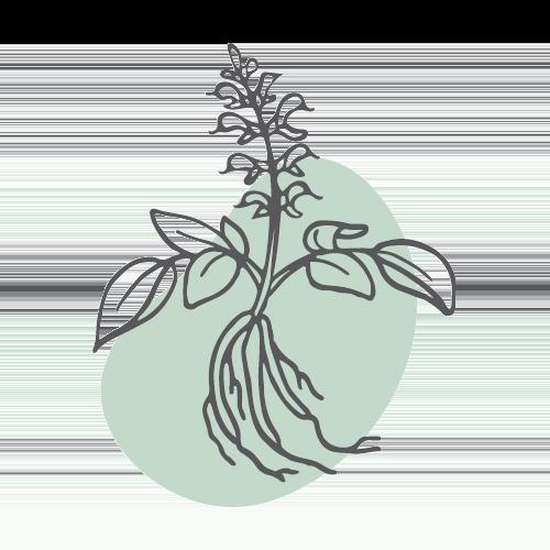 DAN SHEN – Rotwurzelsalbei (radix salvia miltiorrhiza)